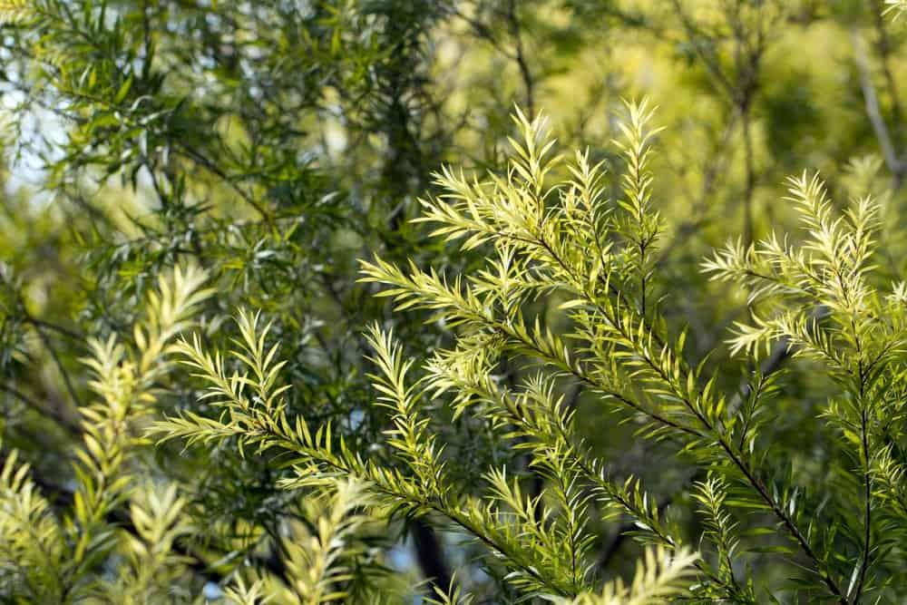 arbre tea tree bienfaits avantage